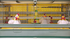Demonstration of chicken industrial incubator with toy chickens Stock Footage