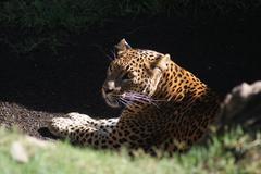 Leopard - Panthera pardus - stock photo