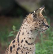 Serval - Leptailurus serval Stock Photos
