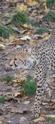 Cheetah - Acinonyx jubatus Stock Photos