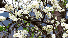 Prune tree flowering - pan right Stock Footage
