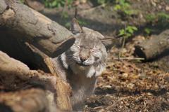 Eurasian Lynx - Lynx lynx Stock Photos