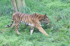 Siberian Tiger - Panthera tigris altaica - stock photo