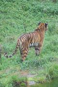 Siberian Tiger - Panthera tigris altaica - stock photo