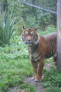 Sumatran Tiger - Panthera tigris sumatrae Stock Photos
