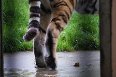 Siberian Tiger - Panthera tigris altaica Stock Photos