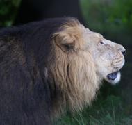 Stock Photo of Asiatic Lion - Panthera leo persica