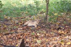 Asiatic Lion Cub - Panthera leo persica - stock photo