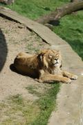 Asiatic Lion - Panthera leo persica - stock photo