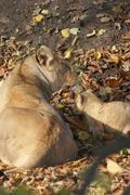 Stock Photo of Asiatic Lion Cub - Panthera leo persica