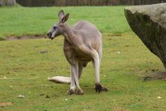 Red Kangaroo - Macropus Rufus Kuvituskuvat