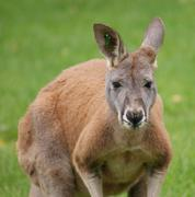 Agile Wallaby - Macropus agilis Stock Photos