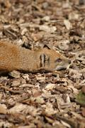 Yellow Mongoose - Cynictis penicillata Stock Photos