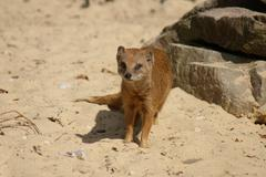 Yellow Mongoose - Cynictis penicillata Stock Photos