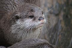 Oriental Small-clawed Otter - Aonyx Cinerea - stock photo