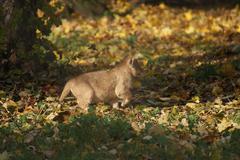 Asiatic Lion Cub - Panthera leo persica Stock Photos