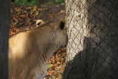 Asiatic Lion - Panthera leo persica Stock Photos