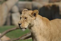 Katanga Lion - Panthera leo bleyenbergh Stock Photos