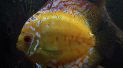 Beautiful Discus Fishes close up Stock Footage