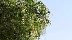 Closeup of Neem tree Stock Footage