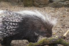 Crested Porcupine - Hystrix cristata Stock Photos