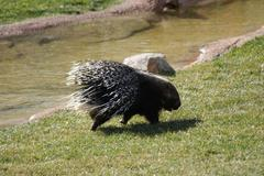 South African Porcupine - Hystrix africaeaustralis Stock Photos