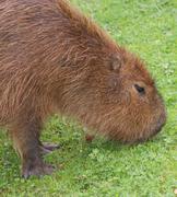 Capybara - Hydrochoerus hydrochaeris - stock photo