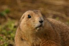 Black-tailed Prairie Marmot - Cynomys ludovicianus - stock photo