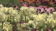 White tulips in spring Stock Footage