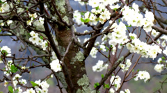 Prune tree flowering - tilt up - stock footage