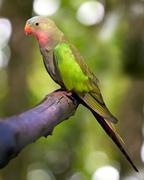 Princess parakeet Stock Photos