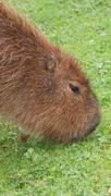 Capybara - Hydrochoerus hydrochaeris Stock Photos