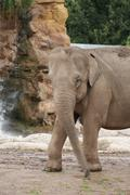 Asian Elephant - Elephas maximus Stock Photos