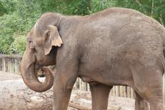 Asian Elephant - Elephas maximus - stock photo