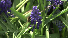 Honey bee at work in spring Stock Footage