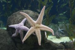 Pink Sea Star - Pisaster brevispinus - stock photo