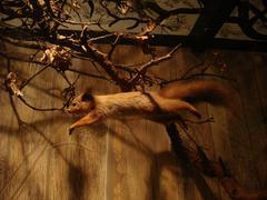 Orava - sciurus vulgaris Kuvituskuvat