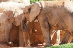 Love of the African Bush Elephant - Loxodonta africana - stock photo