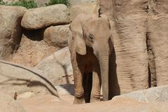African Bush Elephant - Loxodonta africana Stock Photos