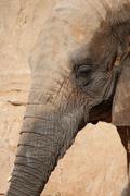 South African Elephant - Loxodonta africana africana Stock Photos