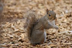 Grey Squirrel - Sciurus carolinensis Stock Photos
