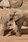 South African Elephant - Loxodonta africana africana - stock photo