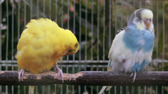 Yellow and blue budgie - stock footage