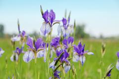 Irises - stock photo