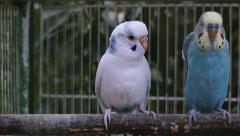 Blue and white budgie talking together Stock Footage
