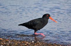 Oystercatcher bird Stock Photos