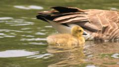 Baby Canadian Goose swimming to Mother Stock Footage