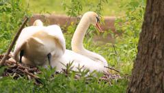 White Swans, resting Stock Footage