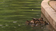 Baby Ducks Swimming with Mother Stock Footage