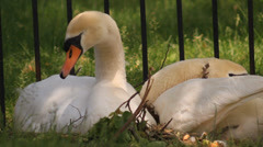 Swans resting by their nest - stock footage
